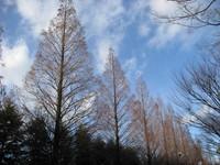 Metasequoia_Deciduous.jpg